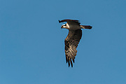 Osprey (Pandion haliaetus)<br /> Orinoco River, north of Puerto Ayacucho. Apure Province, VENEZUELA. South America.<br /> These birds are found along sea coasts, large inland lakes and rivers. They feed on fish, carrion, insects and fruit.