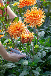 Deadheading dahlias with secateurs