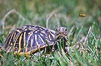 Western Box Turtle (Terrapene ornata) Prefers prairie grasslands and sandy soils.  Dark shell with yellow radiating lines  on shell.  Colorado plains.