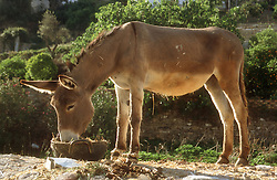 Donkey eating from a basket in Tolox; Andalucia,
