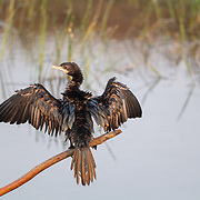 The little cormorant (Microcarbo niger) is a member of the cormorant family of seabirds. Slightly smaller than the Indian cormorant it lacks a peaked head and has a shorter beak.
