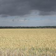 Wheat Field, Suffolk