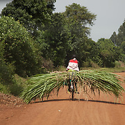 The Stars Foundation visiting Action in the Community Environment (ACE) in Bungoma, Kenya...A man is transporting sugar canes on his bicycle. The area around Bungoma is very fertile but most of the land is used to grow sugar canes. Sugar cane is what is called a cash crop (or a man's crop), it is easy to grow and can be sold off in one go earning the farmer some easy cash. The trouble in Bungoma is that few women and children get to benefit from the cash and since the land is full of sugar canes they often go hungry and malnourished.