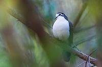 Tambourine Dove, Mphingwe Camp, Catapu, Sofala Province, Mozambique