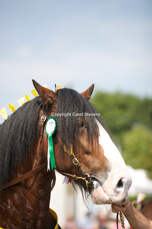 Paul Bedford and his own 4 year old bay stallion  Metheringham Upton Hamlet<br /> s  Moorfield Edward<br /> <br /> 1st  Colt or Stallion, two years old and over class<br /> Champion Shire Horse
