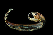 Scaly dragonfish or boa dragonfish (Stomias boa boa); Marine; bathypelagic; depth range 200 - 2173 m