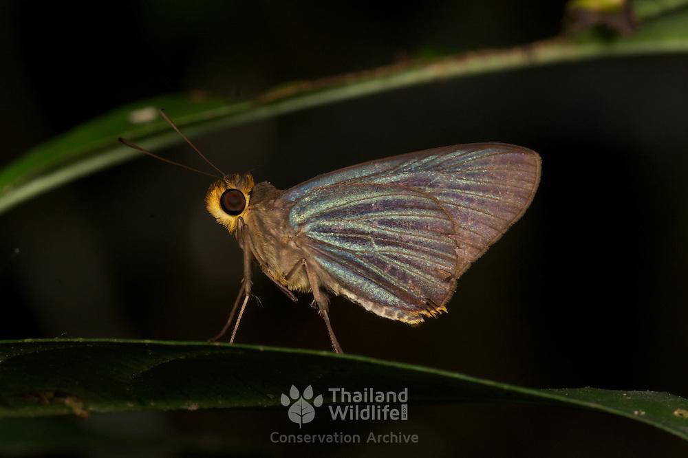 Pirdana hyela rudolphii (Green-Striped Palmer).