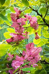 Robinia hispida - Rose Acacia Tree, Bristly Locust