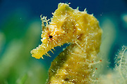 Short-snouted seahorse (Hippocampus hippocampus) [size of single organism: 11 cm]
