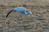 Blue Crane feeding in ploghed lands, Overberg, Western Cape, South Africa
