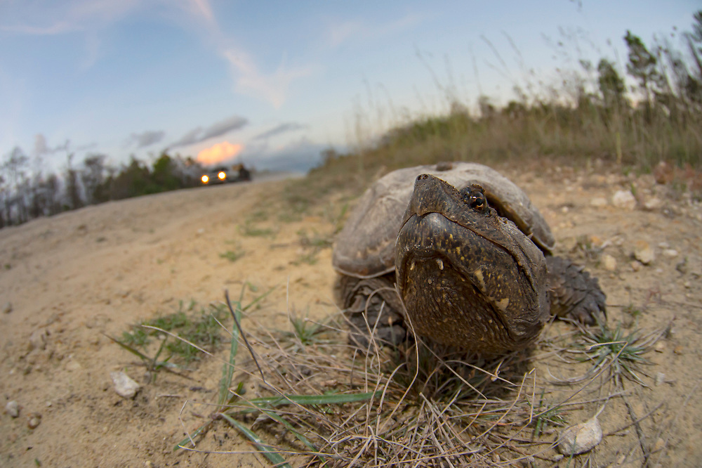 A common Snapping Turtle rests on the shoulder of a dirt road in Big Cypress National Preserve in the Florida Everglades, United States.