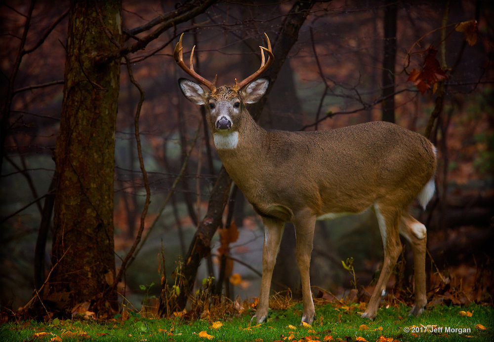 A Buck White Tailed Deer standing at the edge of the forest in the first light of the morning.