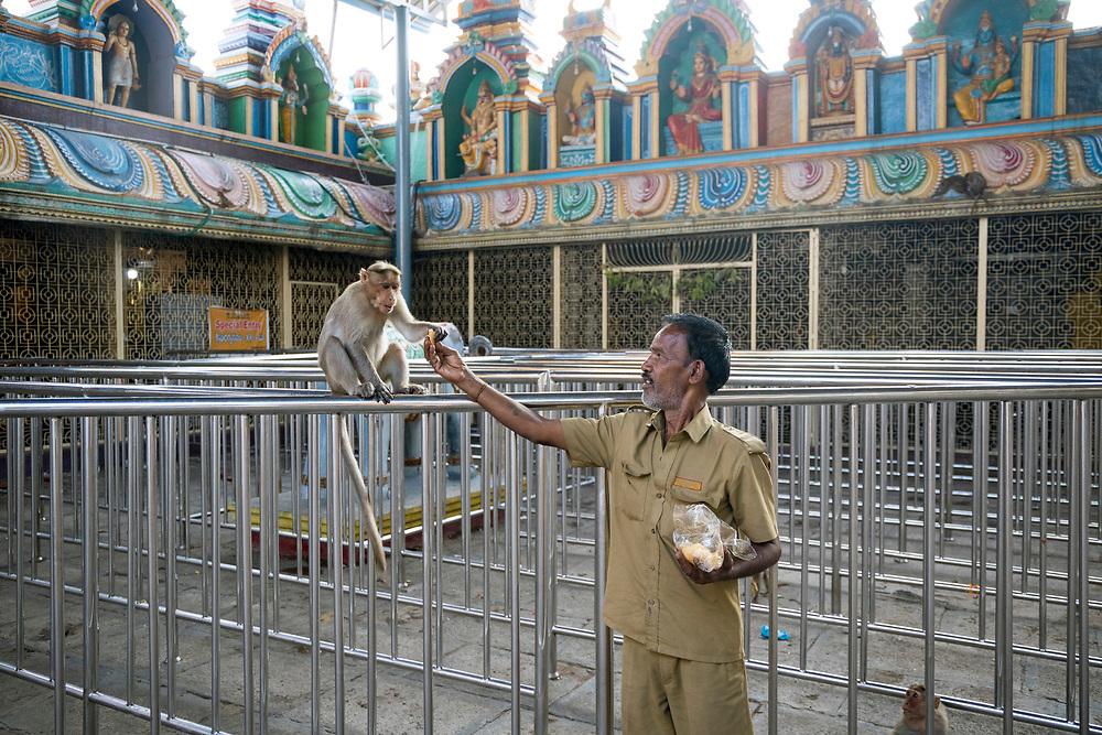 KADIRI, INDIA - 03rd November 2019 - Security guard feeds monkey at Kadiri temple, Andhra Pradesh, South India.