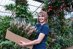 © Licensed to London News Pictures. 04/02/2016. London, UK.  4 February 2016. Kew horticulture staff member, Hannah Button, carries a box of orchids to be planted, as preparations are made for the opening of Kew Gardens' 21st annual Orchid festival (6 February to 6 March).  The Princess of Wales Conservatory has been transformed to present a sensory journey through the striking flora of Brazil during Carnival Season and includes two enormous rainforest tree structures as well as figures in the pond representing carnival dancers.<br />  Photo credit : Stephen Chung/LNP
