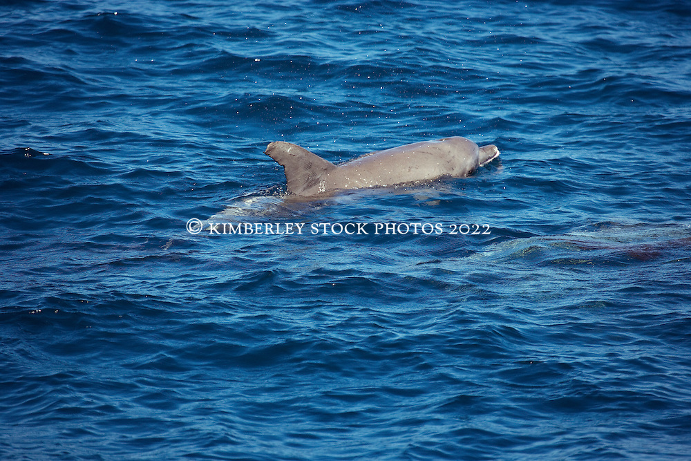 A snall pod of Bottlenose dolphins (Tursiops aduncus) off Lombadina on the Dampier Peninsula.