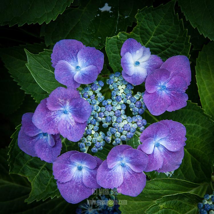 The blossom of a purple lace cap hydrangea.
