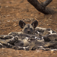 African wild dogs South africa