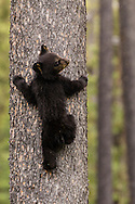A black bear cub scrambles up a tree while mum feeds below.