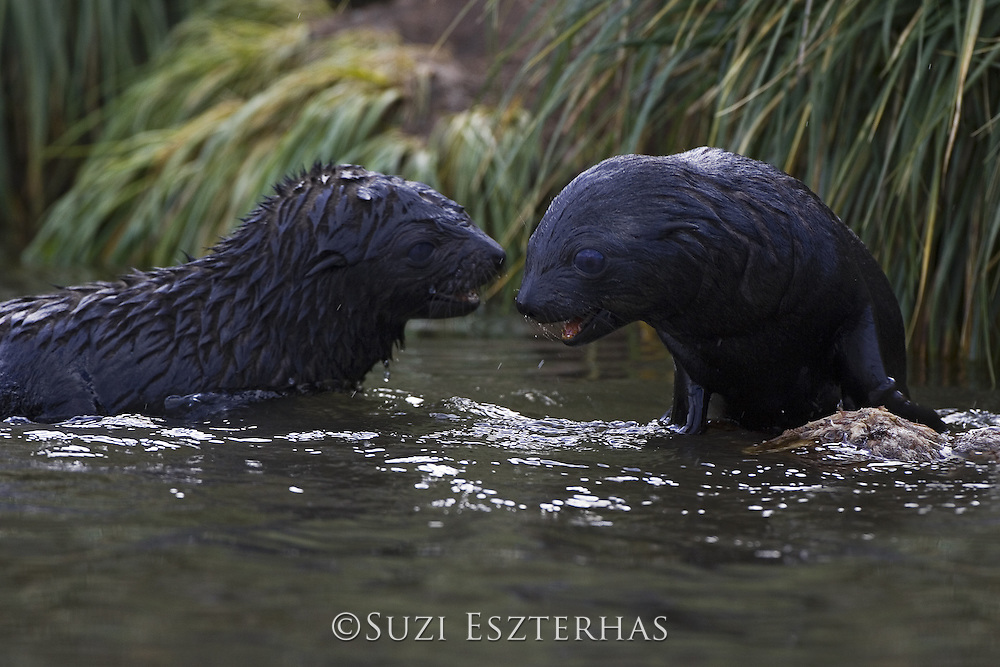 South American Fur Seal<br /> Arctocephalus australis<br /> 1-2 wek old pups playing<br /> Fortuna Bay, South Georgia