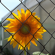 Sunflower ©Guillermo Trillo/NwnPhoto