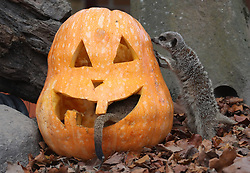 Meerkats with a carved pumpkin at Blair Drummond Safari Park. The pumpkin was carved by design students from nearby Forth Valley College and have been filled with enrichments.