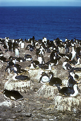 Antartica.Cormorao (do ingles cormorant), corvo-marinho, bigua (Brasil) ,  designacao de diversas aves marinhas ciconiiformes (pelecaniformes na taxonomia tradicional) da familia Phalacrocoracidae. O grupo tem cerca de 30 especies, a grande maioria das quais pertencentes ao genero Phalacrocorax./The Phalacrocoracidae family of birds is represented by 38 species of cormorants and shags. Several different classifications of the family have been proposed recently, but in the one most commonly used, all but two or three species are placed in a single genus Phalacrocorax, the exceptions being the Kerguelen Shag, the Imperial Shag, and (sometimes) the Galapagos' Flightless Cormorant..Foto: Christiana Carvalho/Argosfoto