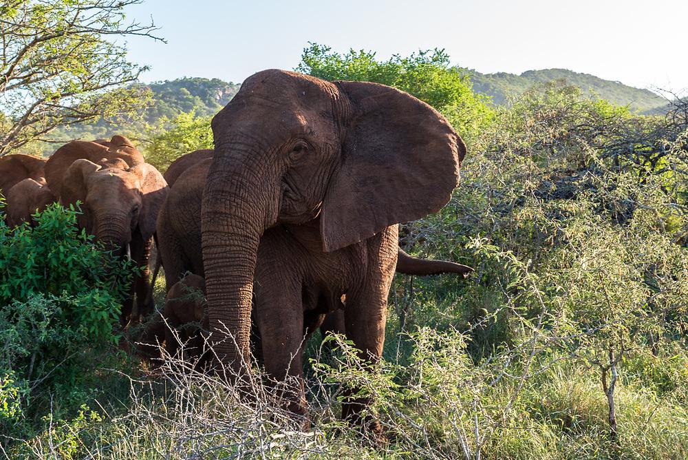 A herd of Elephants walking through the African bush