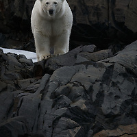 Polar Bear on Charles XII Island Svalbard