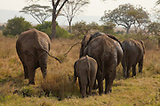 Serengeti, Tanzania - An Elephant family walking away from a watering hole show thier varied big behinds.