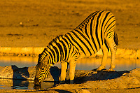 Zebra at a watering hole, Etosha National Park, Namibia