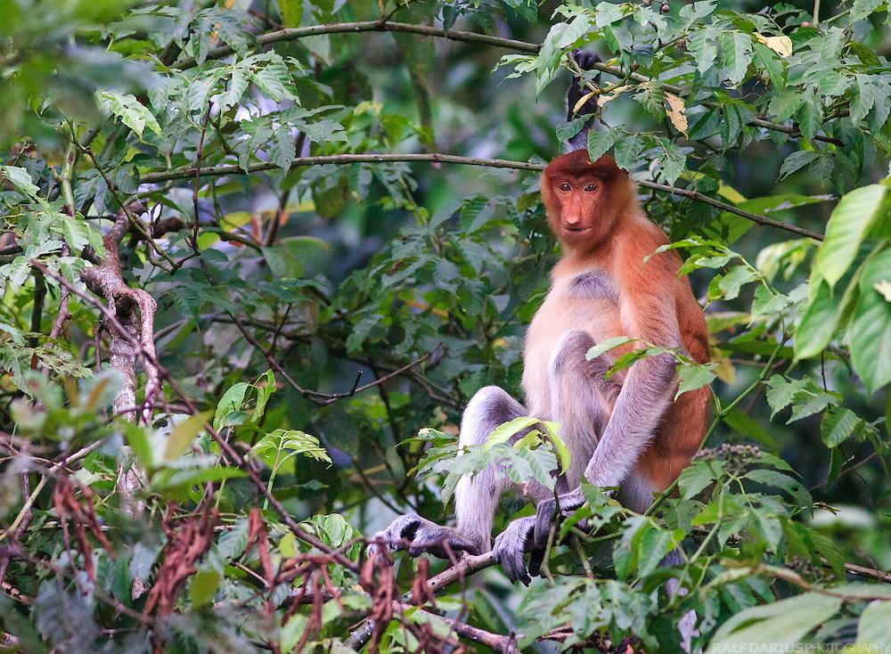 Proboscis monkey (Nasalis larvatus) at the lower Kinabatangan in Sabah (Borneo), Malaysia