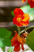 Close up of a leaf of a Tropaeolum majus (garden nasturtium, Indian cress or monks cress)