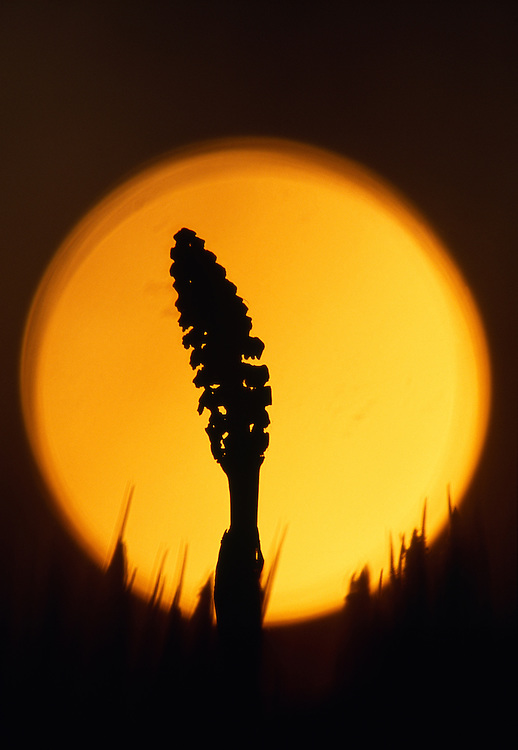 Field horsetail against rising sun