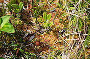 A small patch of the Eagle Hill Bog on Campobello Island, New Brunswick, includes sedums, Lambkill, and Sphagnum moss.