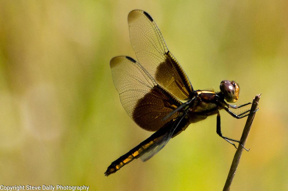 Widow Skimmer dragonfly resting