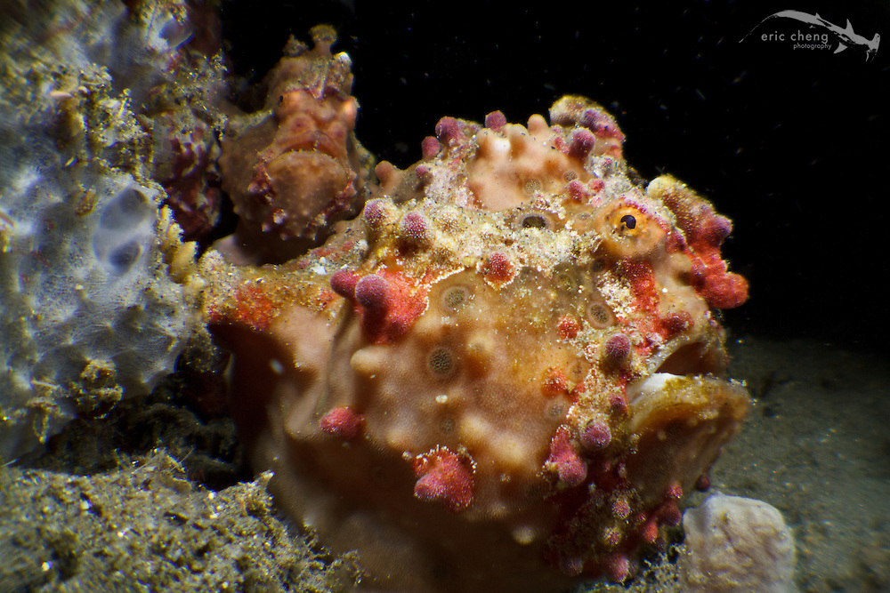 A pair of warty frogfish (Antennarius maculatus). The female looks heavily laden with eggs. Ambon, Indonesia.