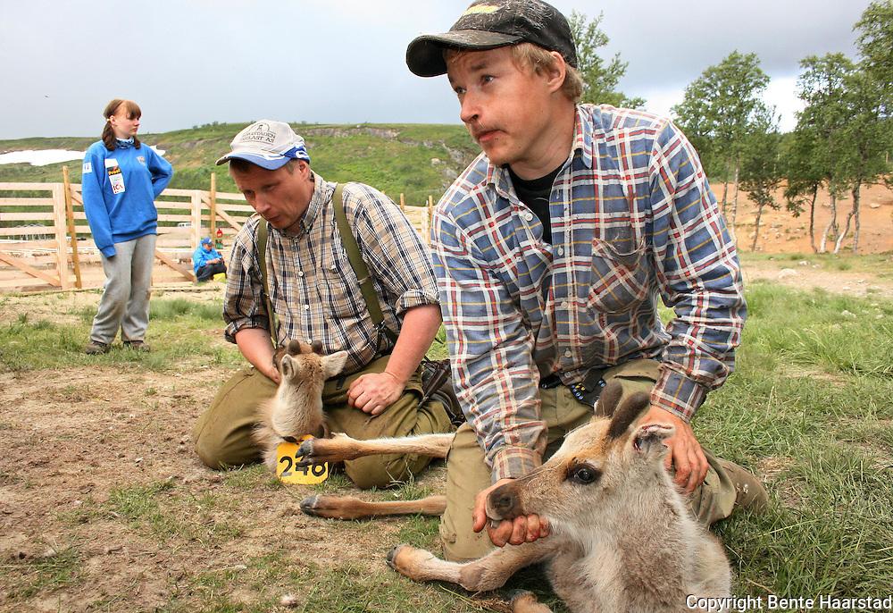Kalvmerking. Nils-Aksel Bransfjell får hjelp av onkelen Nils Tony Bransfjell. Saanti sijte, Skarpdalen, Tydal/Meråker.  Reindeer herding. (Essand reinbeitedistrikt).