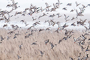 Northern Pintails, Anas acuta, Mallards, Anas platyrhynchos, Brown County, South Dakota