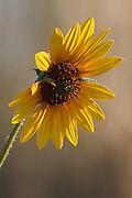 Solitary Sunflower (helianthus), Boulder Colorado