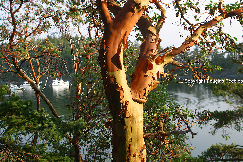 Madrona Tree, Echo Bay, Sucia Island, San Juan Islands, Washington<br />