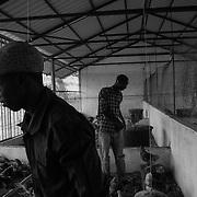 Two young operators of Cedaves, Guinea's largest breeding chickens. This project serves to encourage young people to stay in the country.<br /> <br /> Dos j&oacute;venes operadores de Cedaves, la m&aacute;s grandes crianza de pollos de Guinea-Bissau. Este proyecto sirve para animar a los j&oacute;venes a permanecer en el pa&iacute;s.
