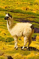 Llamas, Machuca Valley, Atacama Desert, Chile
