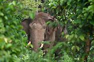 Elephant de Sumatra (Elephas maximus sumatranus), Aceh, Sumatra
