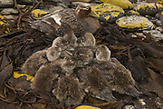 Falklands Flightless Steamer Ducks (Tachyeres brachypterus) Mother with ducklings.<br /> Carcass Island. Off of West Falkland Island. FALKLAND ISLANDS.<br /> RANGE & HABITAT: Restricted to the Falkland Islands although a similar duck T. Pteneres is found on coasts of southern Chile.<br /> ENDEMIC TO THE FALKLANDS