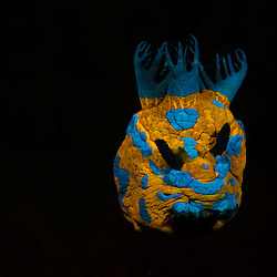 Nudibranch, Tambja verconis