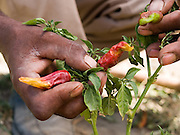 """Aliye Yesak inspects his chilli plants at his home in Zwei, Ethiopia...Before Aliye and his wife, Momima, became involved in SEDA, an organisation working with Send a Cow, they used to live in a  grass house which leaked when it rained. During the drought he was forced to work on another farm as a labourer. He was paid 1 Birr a day, enough to buy one loaf of bread. As a result the family ate once a day and life was very tough. Sometimes he wasnt sure if his children would make it...""""8 years ago we had to survive from government food aid. There are reports now of drought in Ethiopia, but we have our own vegetables we have grown and we have seedlings we can sell"""""""