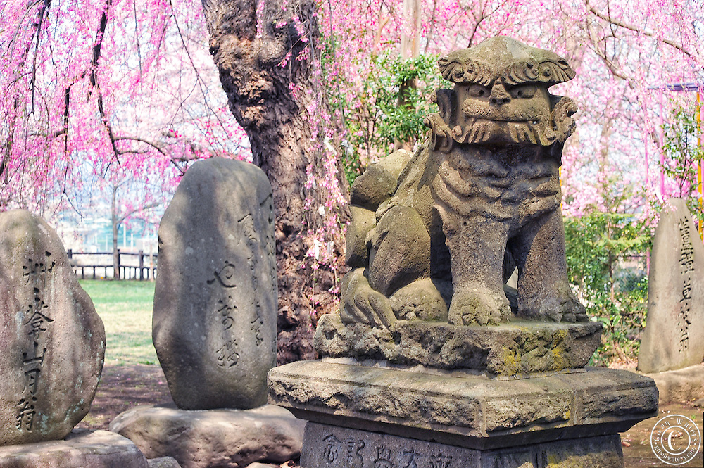 A very old lion dog statue surrounded by cherry blossoms at a shinto shrine in Hirosaki northern Japan.