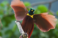 Red Bird of Paradise (Paradisaea rubra) male performing practice display at a tree-top display site called a lek.  This perch was 50 meters above the ground.