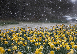 © Licensed to London News Pictures. 26/02/2018. Oxshott, UK. Snow flurries settle on daffodils as a cold front sweeps in from the east - with heavy snow expected later in the week in parts of the UK. Photo credit: Peter Macdiarmid/LNP