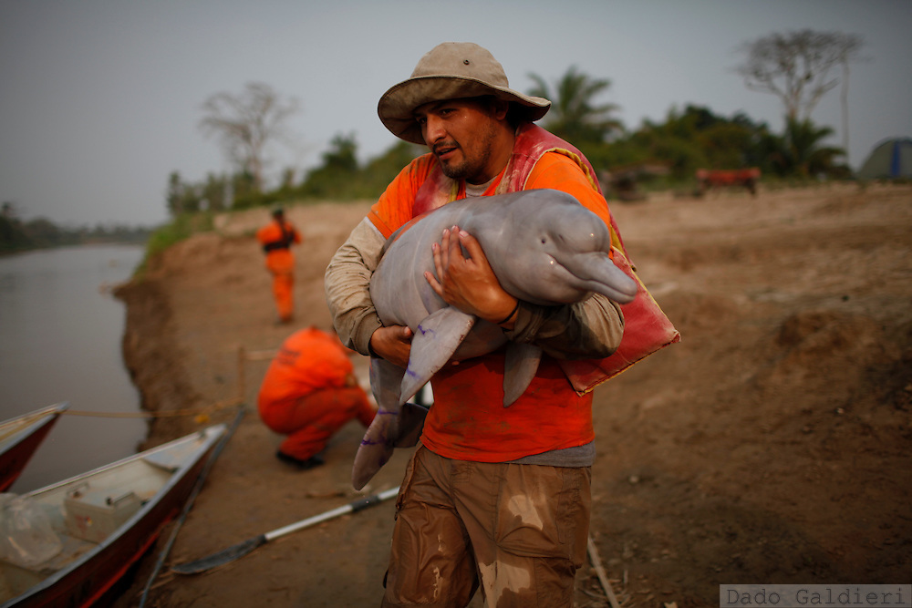 Bolivian biologist Enzo Aliaga holds a baby pink dolphin as he walks towards a rescuing boat that will carry the animal to deep waters  at the Grande river near Las Londras farming complex, Santa Cruz, Bolivia, Tuesday, Aug. 24, 2010.(Hilaea Media/Dado Galdieri).